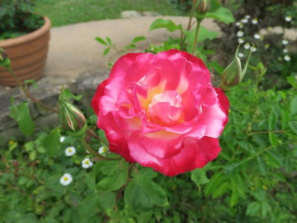 ラ・プロヴァンスにバラが咲く_e0271890_22571675.jpg