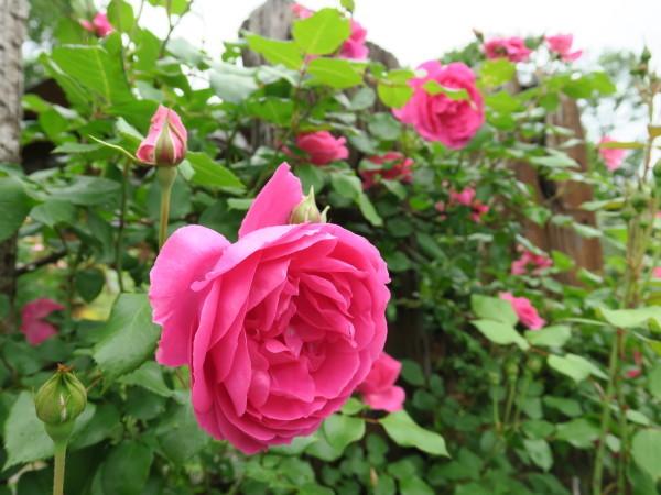 ラ・プロヴァンスにバラが咲く_e0271890_22574286.jpg