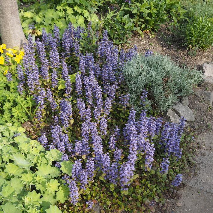 宿根草のお花 - sola og planta ハーブとお花のお庭日記