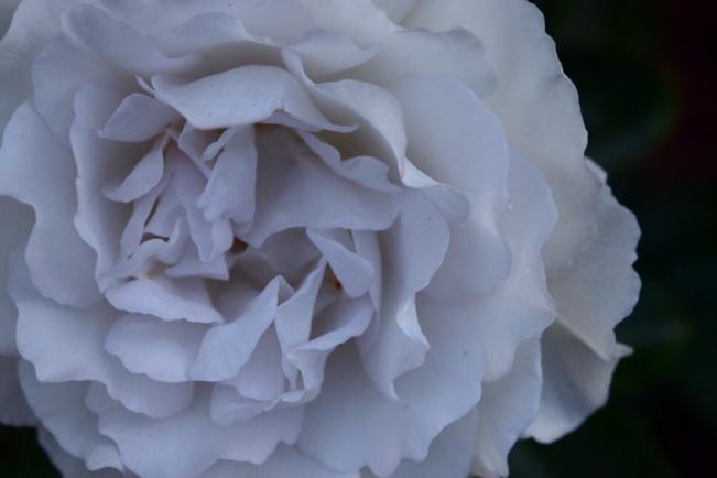 モノクロ写真と思ってしまう神秘的な薔薇ガブリエル。。。紫グレーが不思議な雰囲気。 - 元英国在住アート・セラピストが造る癒しの庭