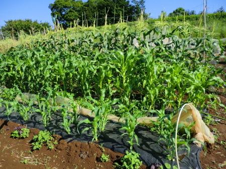 トウモロコシに雌花...タマネギ収穫_b0137932_19420288.jpg