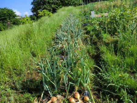 トウモロコシに雌花...タマネギ収穫_b0137932_19451902.jpg