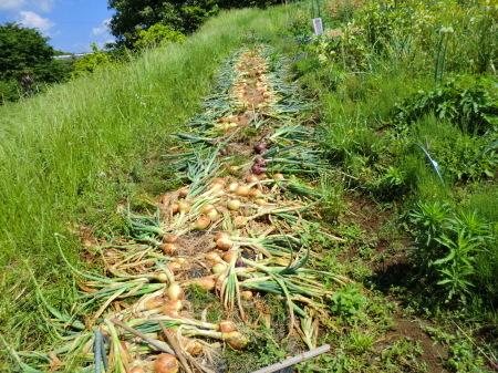 トウモロコシに雌花...タマネギ収穫_b0137932_19464893.jpg