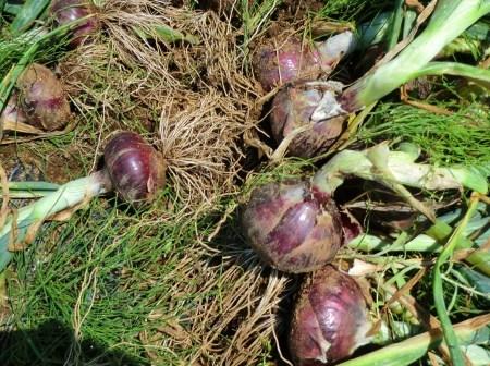 トウモロコシに雌花...タマネギ収穫_b0137932_19471856.jpg