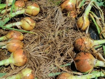 トウモロコシに雌花...タマネギ収穫_b0137932_19480942.jpg