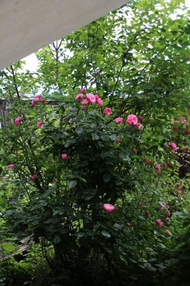 今朝の庭_b0132338_09250277.jpg