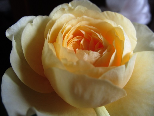 薔薇・・美しい_d0006467_18532849.jpg