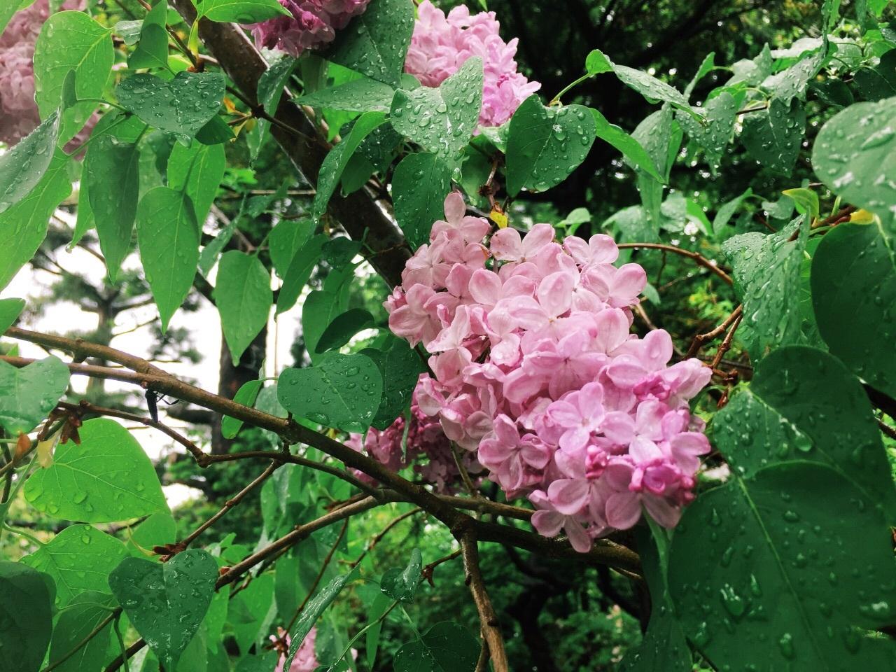 紫陽花ほどではないかもしれないが、ライラックも雨が似合う花である_b0103470_21310527.jpg