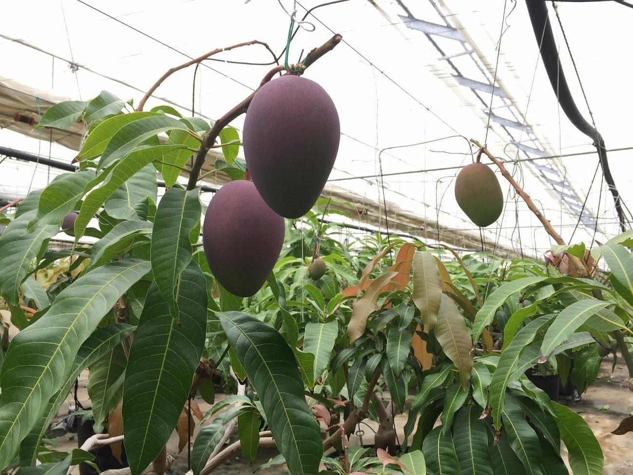 マンゴー今年も収穫できそうです(^^♪_f0236594_17451777.jpg