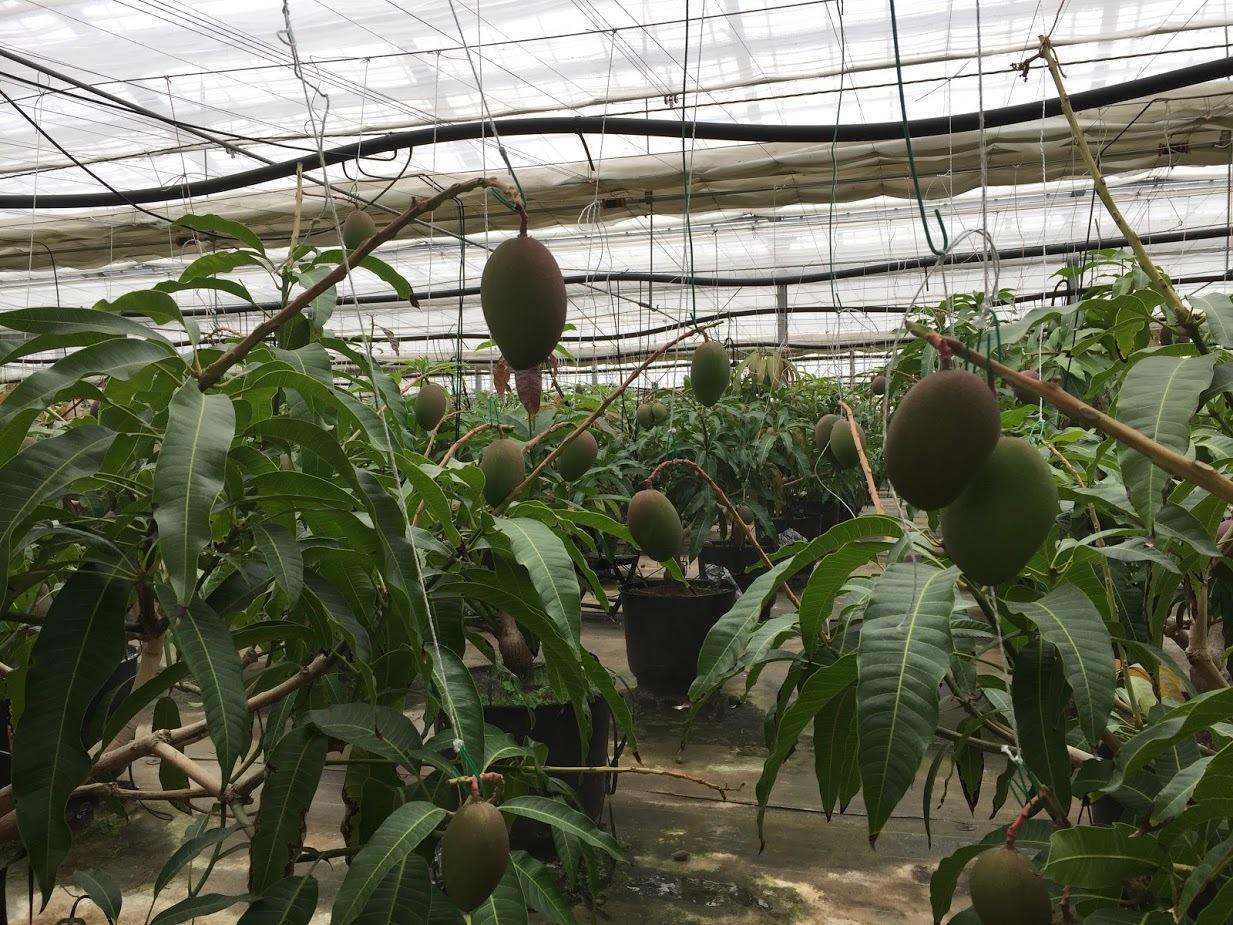 マンゴー今年も収穫できそうです(^^♪_f0236594_17452155.jpg