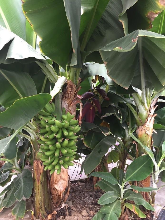 マンゴー今年も収穫できそうです(^^♪_f0236594_17452688.jpg