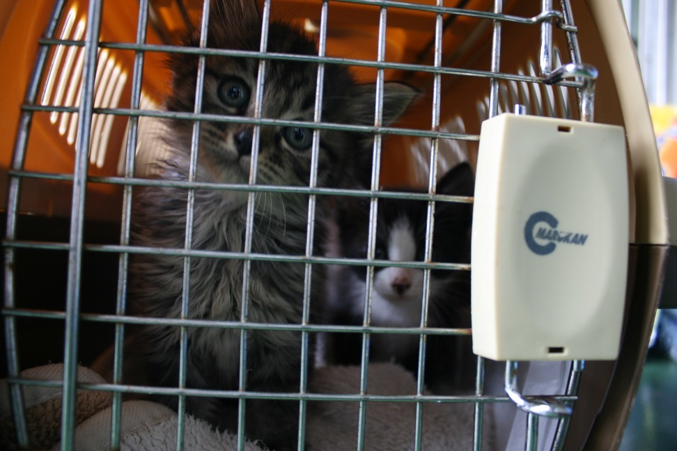 【移動先募集】センター(支所)収容の子猫・成猫(5/27訪問)_f0242002_11173996.jpg
