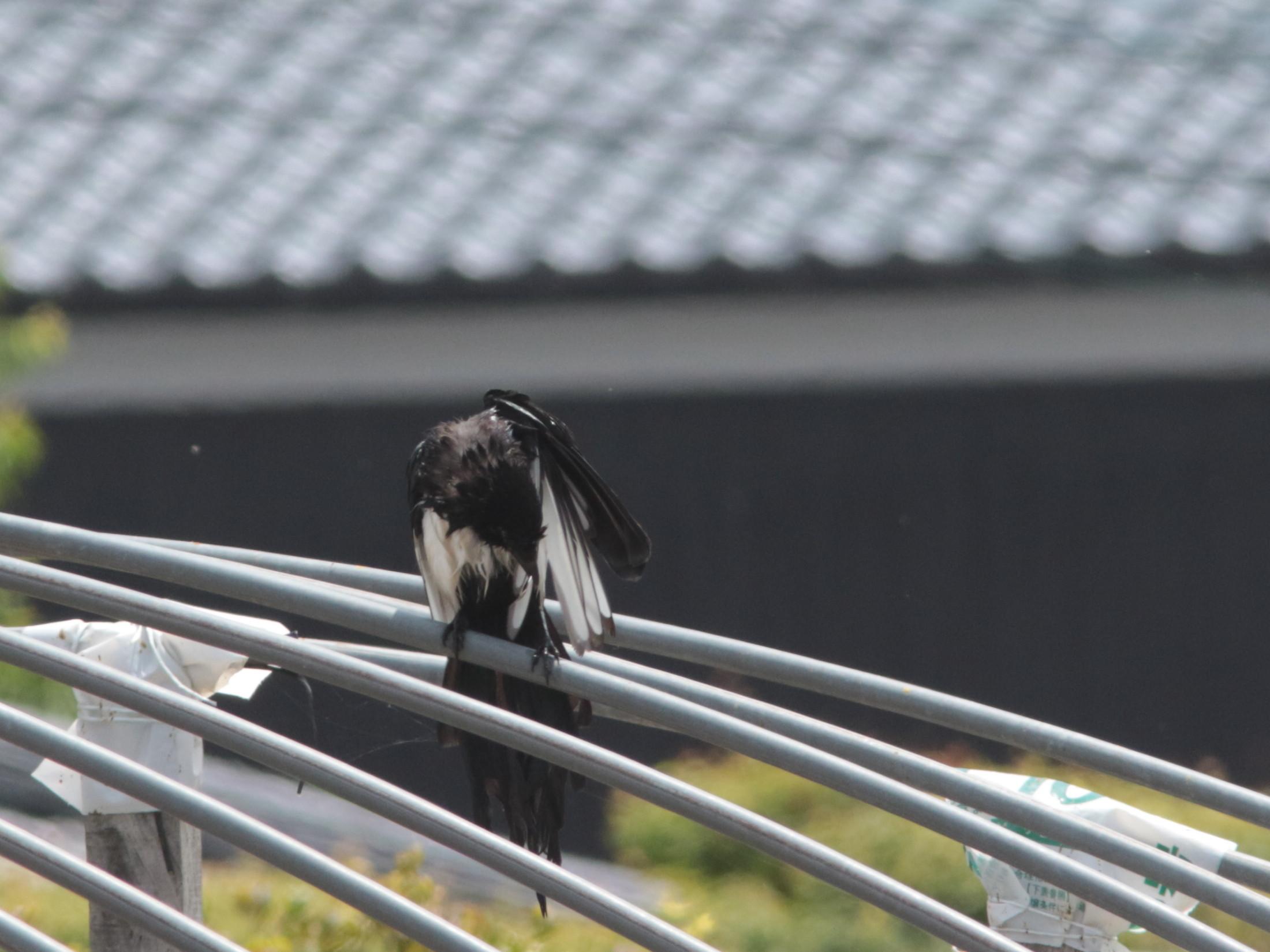 苗代で水浴び後のカササギ  佐賀平野_d0346713_18361425.jpg
