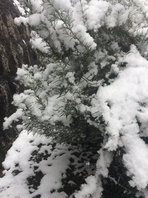 雪のローズマリー〜りんごのおと38_e0103327_2347155.jpg