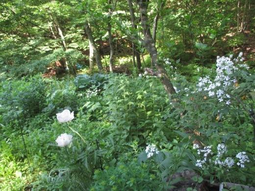 白い花の咲く頃は       5月28日_d0127634_10111481.jpg