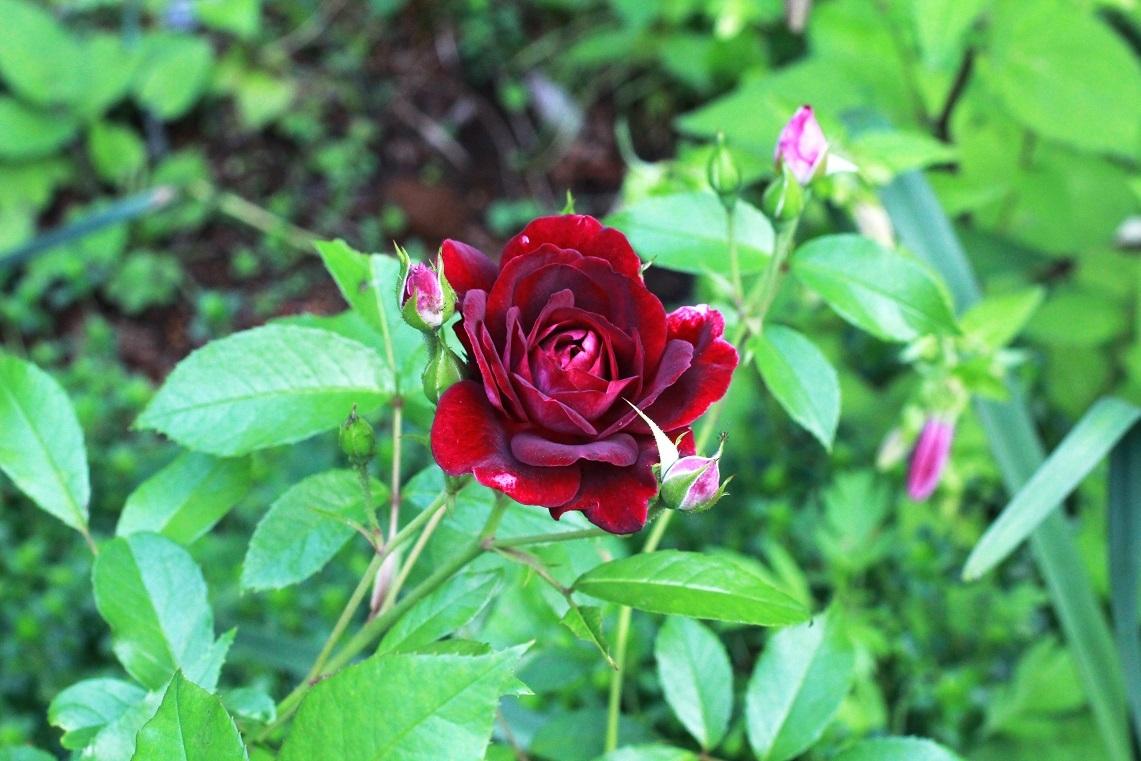 旅行中の水やりを自動で ~薔薇、サルビア、ナデシコ~_a0107574_20252760.jpg