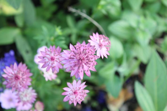 可愛いお花の宿根草たち_a0292194_14233546.jpg