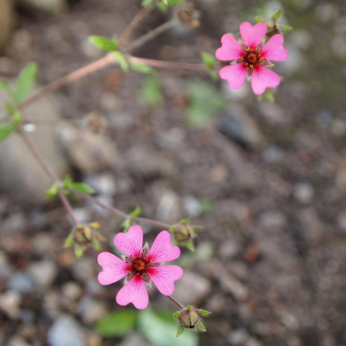 可愛いお花の宿根草たち_a0292194_14301352.jpg