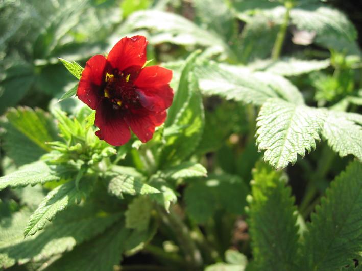 可愛いお花の宿根草たち_a0292194_14341699.jpg