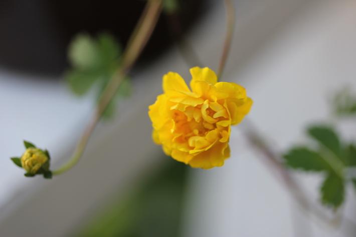 可愛いお花の宿根草たち_a0292194_1435555.jpg