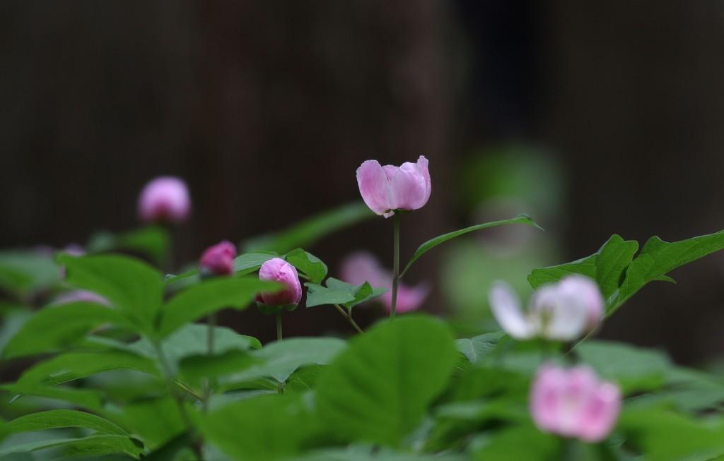 紅花山芍薬_b0223198_21022145.jpg