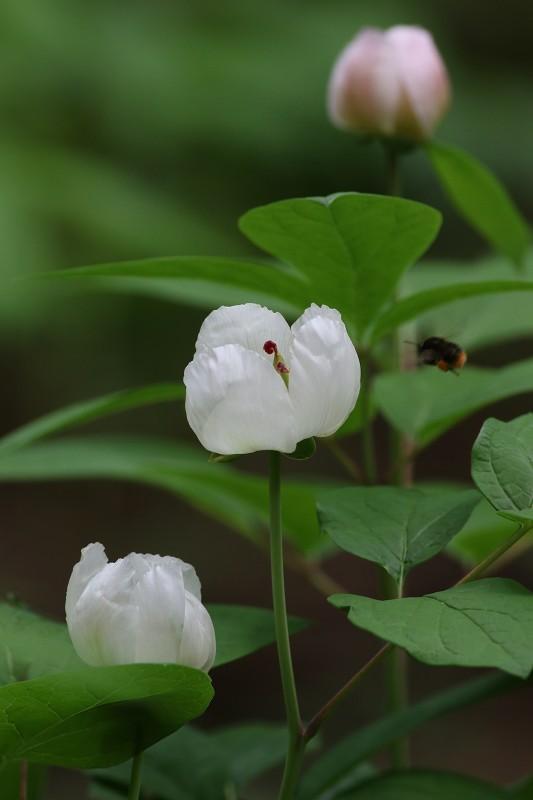 紅花山芍薬_b0223198_21054918.jpg