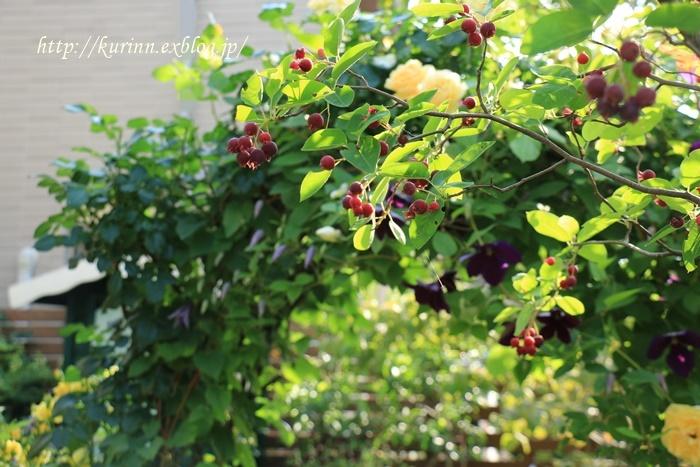 初夏の陽気の中で♪ ジューンベリー&アジサイ - miyorinの秘密のお庭