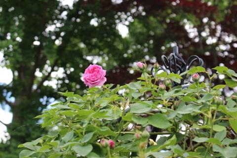 いよいよ開花スタートです♪_e0341606_19482032.jpg