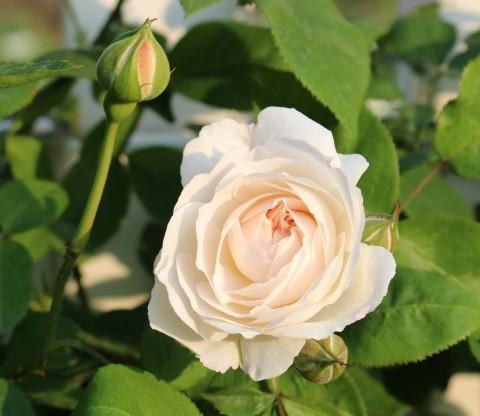 いよいよ開花スタートです♪_e0341606_19501888.jpg