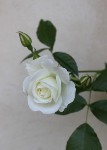 いよいよ開花スタートです♪_e0341606_19521163.jpg