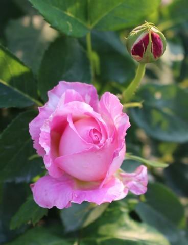 いよいよ開花スタートです♪_e0341606_19555022.jpg