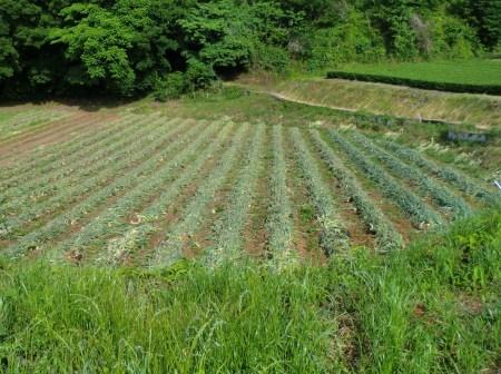 トウモロコシに雌花...タマネギ収穫_b0137932_18353782.jpg