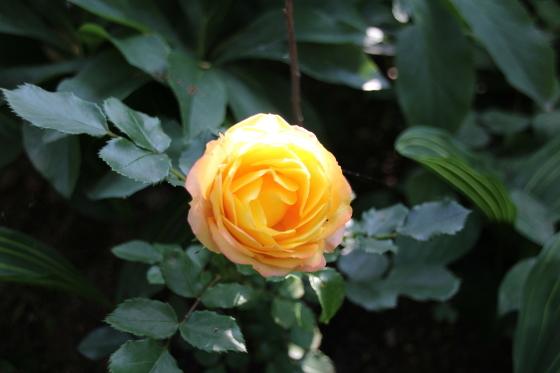 昨日の夕暮れ 今朝の庭_b0132338_08522972.jpg