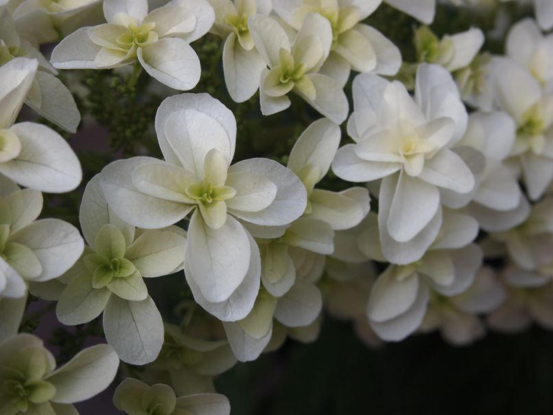 カシワバアジサイが花開きました☆_c0152341_20122047.jpg
