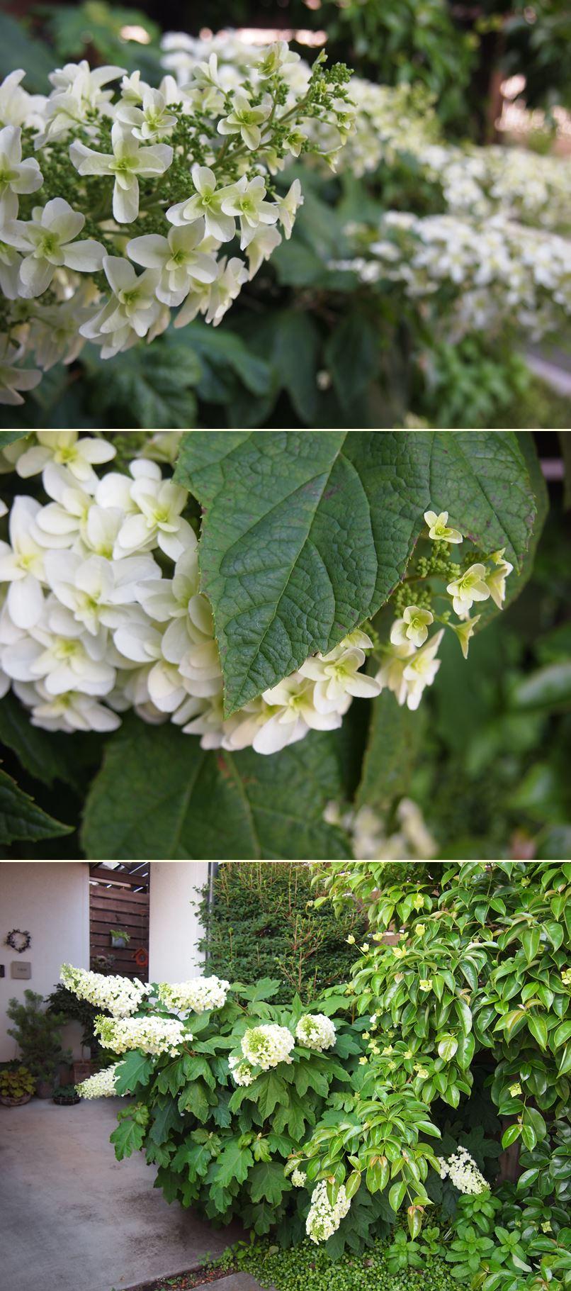 カシワバアジサイが花開きました☆_c0152341_20131093.jpg