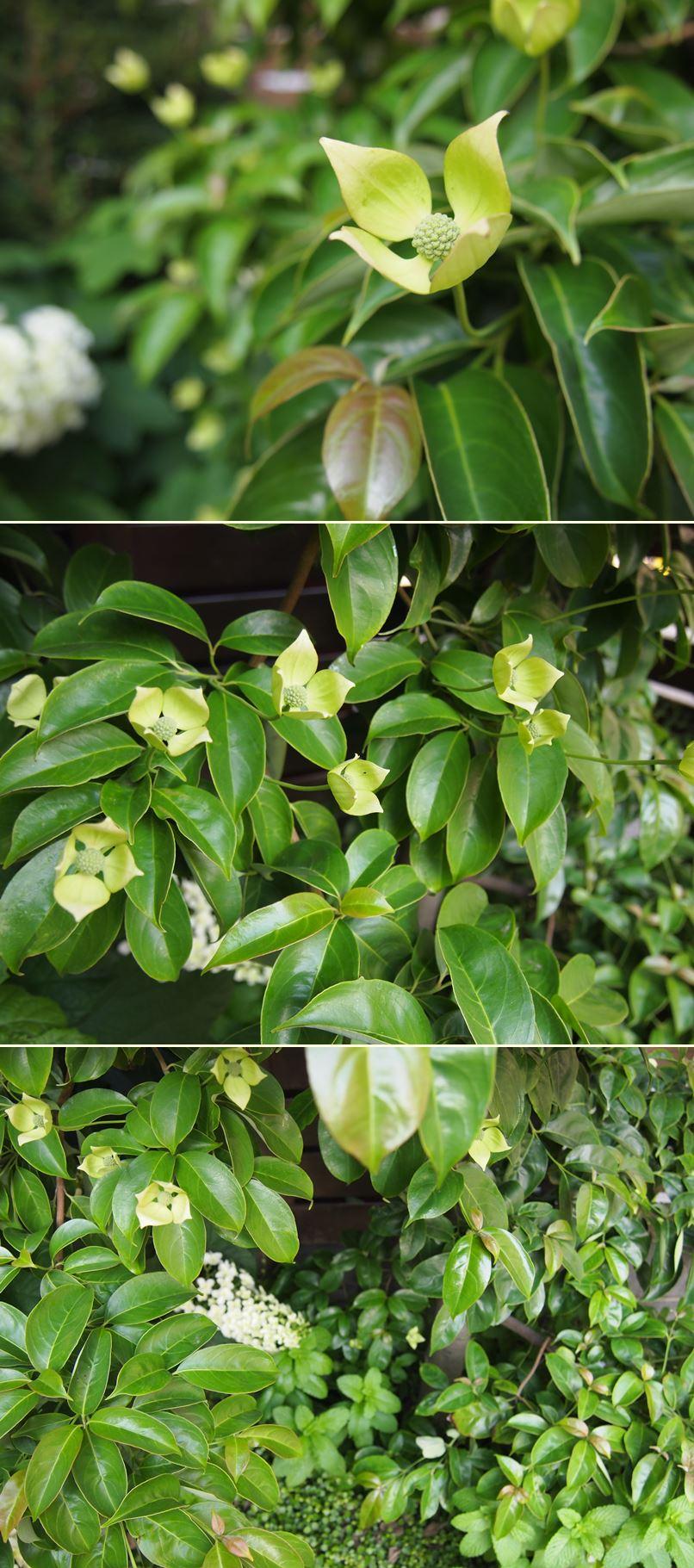 カシワバアジサイが花開きました☆_c0152341_20341717.jpg