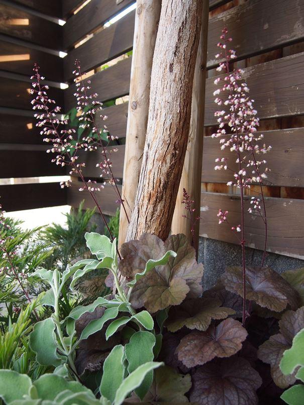 カシワバアジサイが花開きました☆_c0152341_20452489.jpg