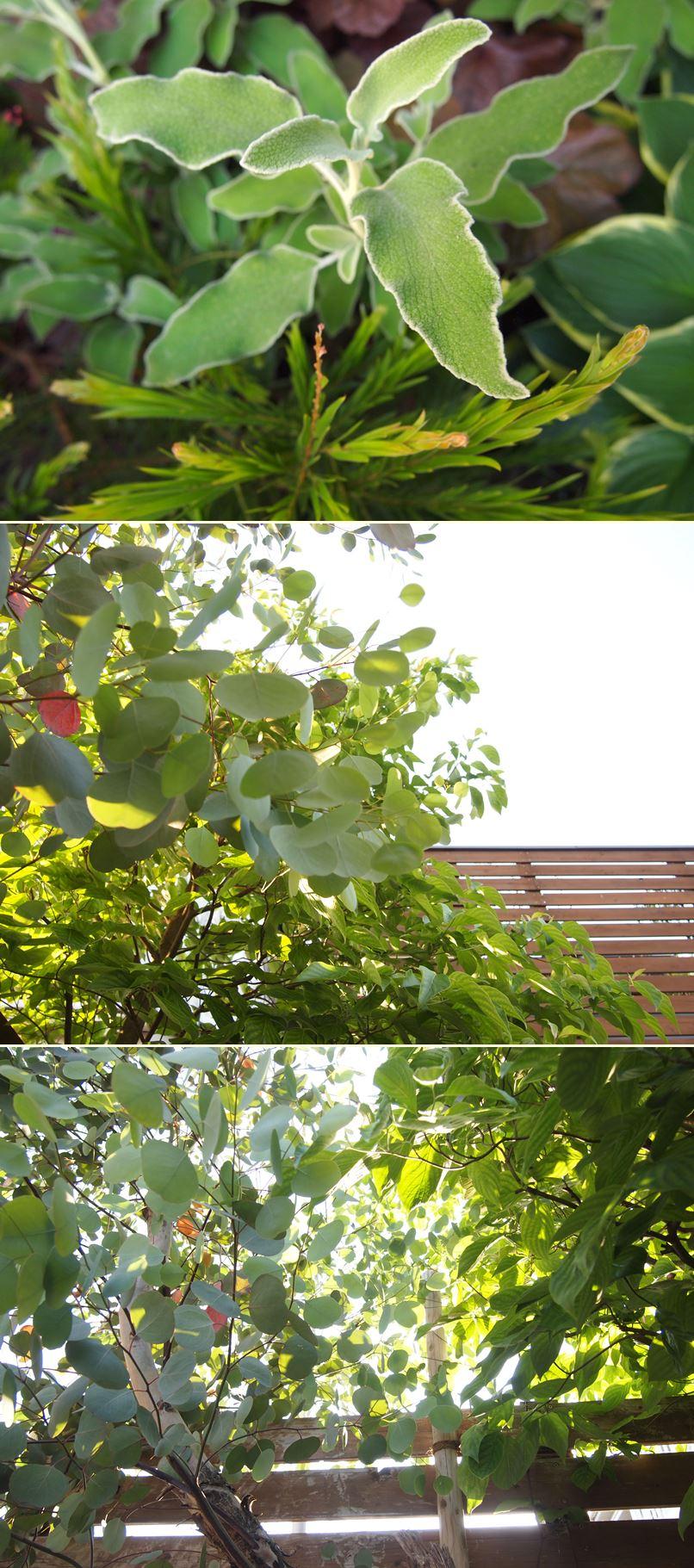 カシワバアジサイが花開きました☆_c0152341_20455864.jpg