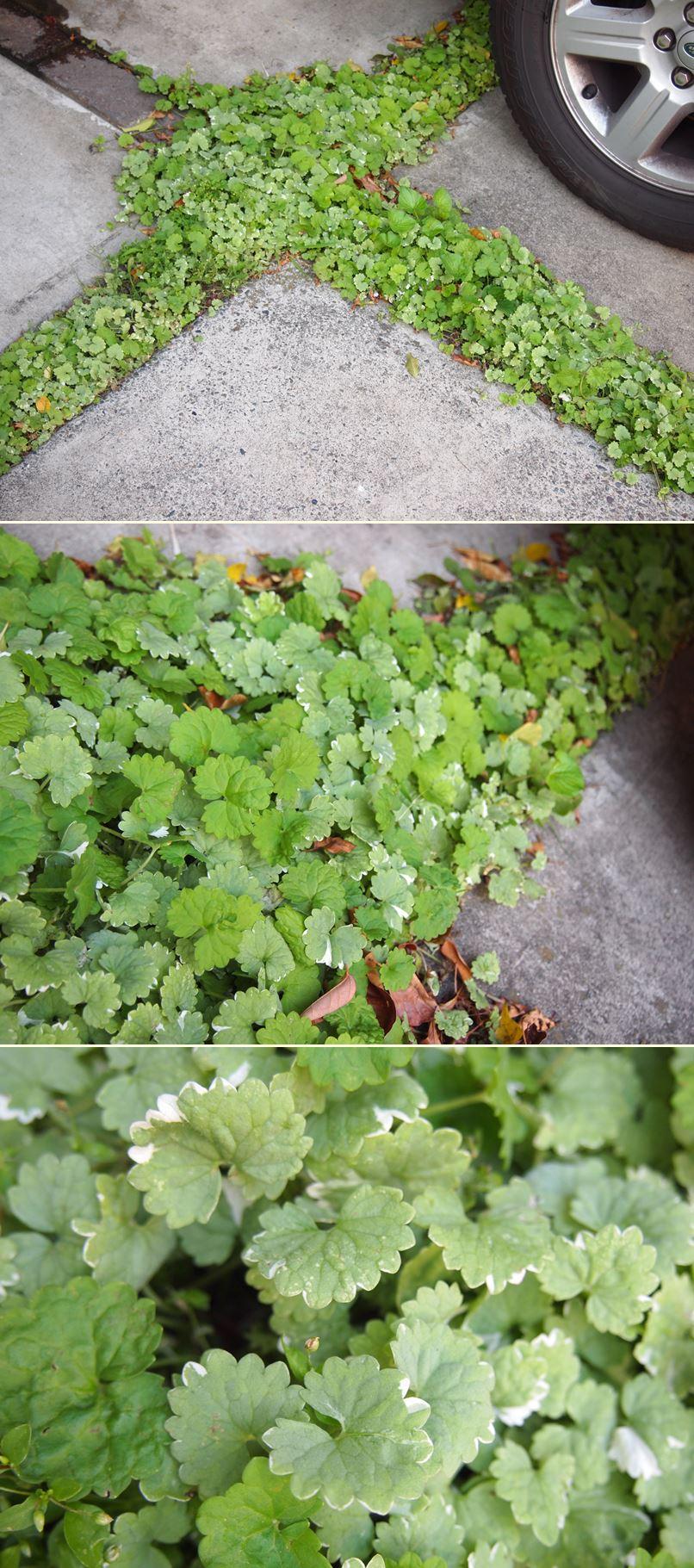 カシワバアジサイが花開きました☆_c0152341_20473435.jpg