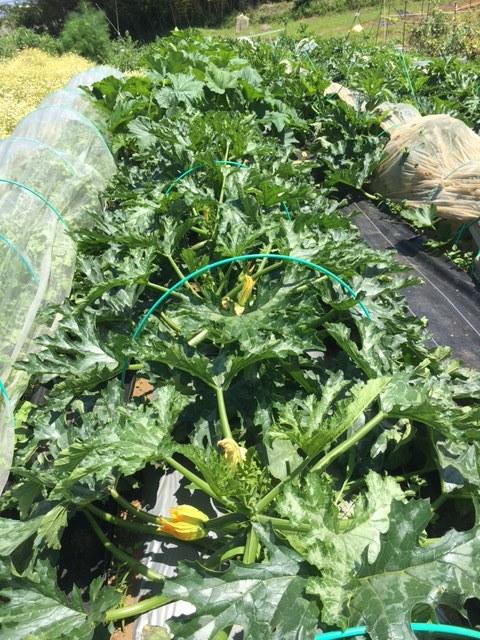 ズッキーニ毎日収穫です カボチャや茄子 パプリカ ぐぐっと来ました_c0222448_12243861.jpg
