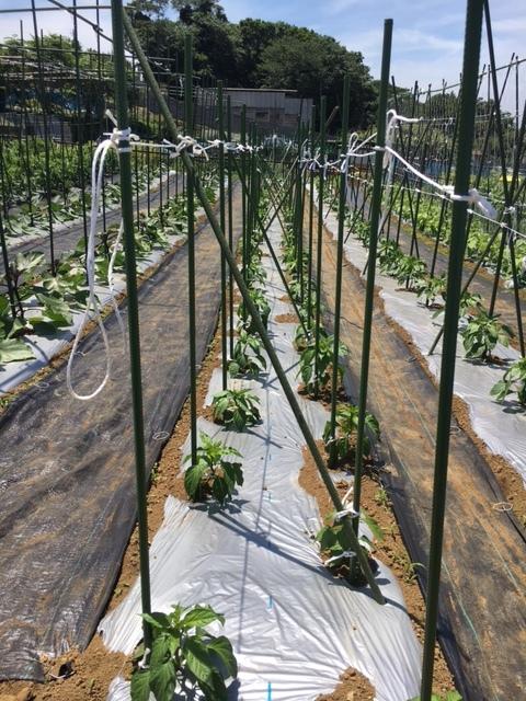 ズッキーニ毎日収穫です カボチャや茄子 パプリカ ぐぐっと来ました_c0222448_12250153.jpg