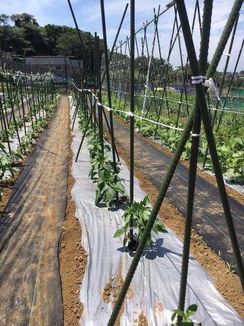 ズッキーニ毎日収穫です カボチャや茄子 パプリカ ぐぐっと来ました_c0222448_12251208.jpg