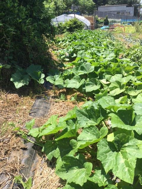 ズッキーニ毎日収穫です カボチャや茄子 パプリカ ぐぐっと来ました_c0222448_12255516.jpg