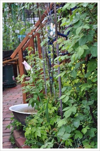 *今日の庭*_e0159050_06143409.jpg