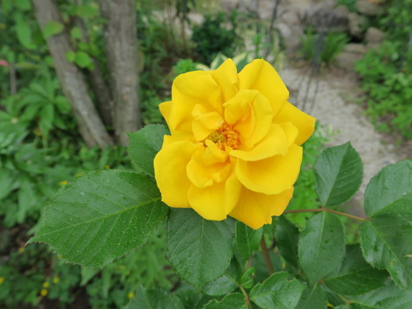 ラ・プロヴァンスにバラが咲く_e0271890_10582783.jpg