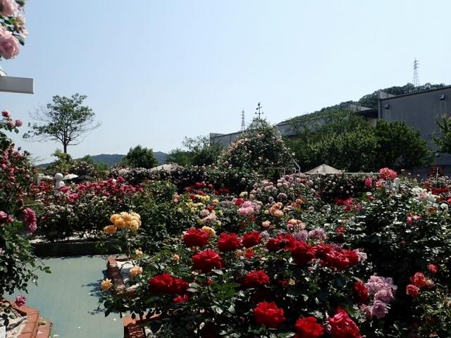 2017年 春の「姫路ばら園」_e0289203_13282989.jpg