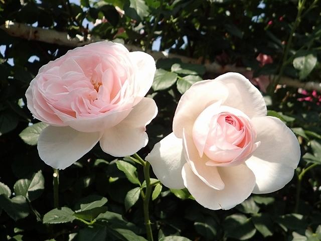 2017年 春の「姫路ばら園」_e0289203_13305103.jpg