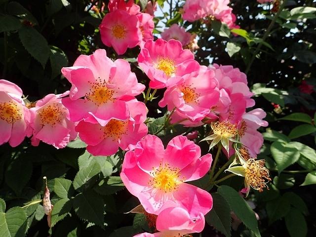 2017年 春の「姫路ばら園」_e0289203_13312010.jpg