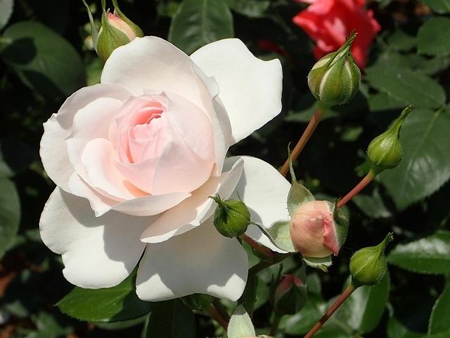2017年 春の「姫路ばら園」_e0289203_13314125.jpg