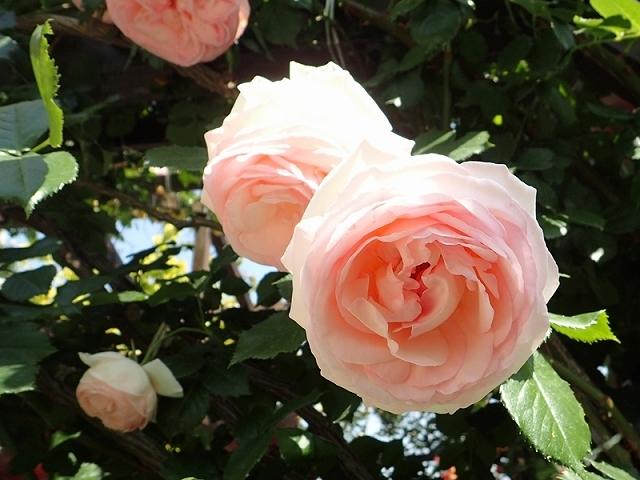 2017年 春の「姫路ばら園」_e0289203_13315500.jpg